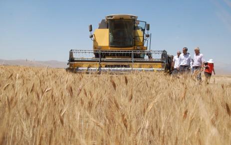 Afşin'de Buğday ve Arpa Üretiminde Rekor