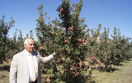 Göksun'da Elma Hasatı Başladı