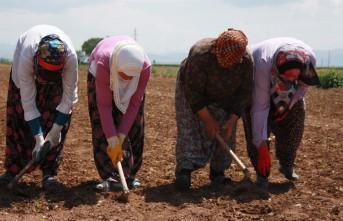 Elbistan'da Tarım İşçilerinin Yevmiyesi 58 TL Oldu