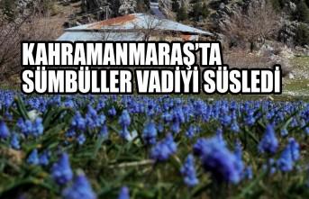 Kahramanmaraş'ta Sümbüller Vadiyi Süsledi