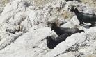 Keçilerin İmdadına Dağcılar Yetişti