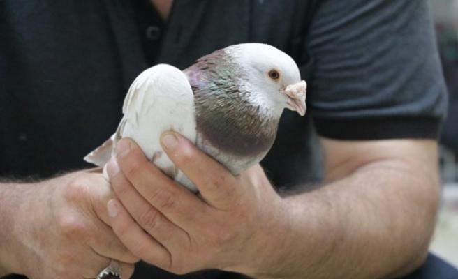 Güvercin Sevgisi Sınır Tanımıyor