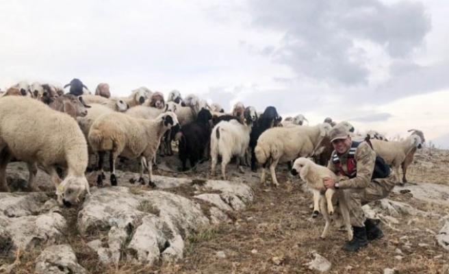 Kaybolan 70 Küçükbaş Hayvanı Jandarma Buldu