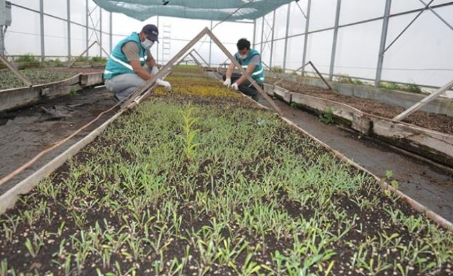 Elbistan Belediyesi 3 Serada 200 Bin Çiçek Üretiyor
