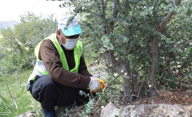11 Bin Yabani Ağaç Aşılandı