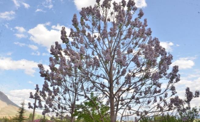 Dünyanın En Hızlı Büyüyen Ağacı
