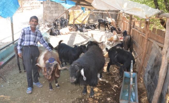 Kahramanmaraş'ta 120 Kiloluk Keçi Alıcısını Bekliyor