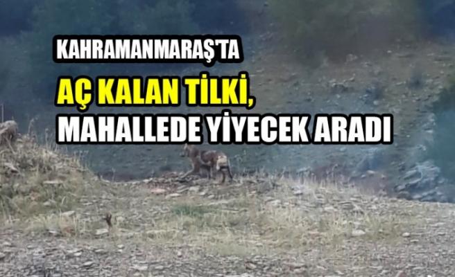 Kahramanmaraş'ta Aç Kalan Tilki, Mahallede Yiyecek Aradı