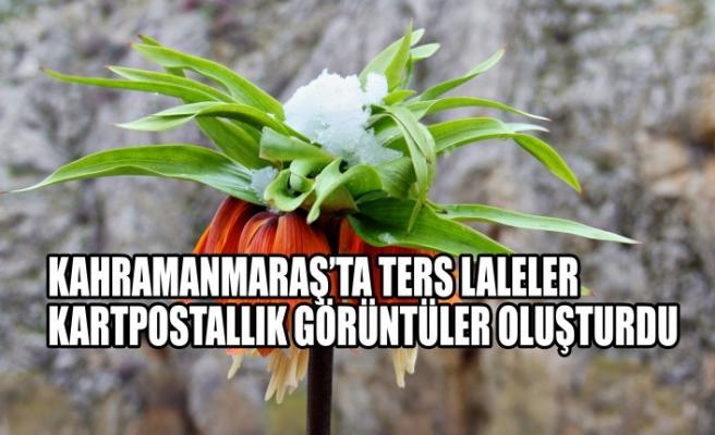 Kahramanmaraş'ta Ters Laleler Kartpostallık Görüntüler Oluşturdu
