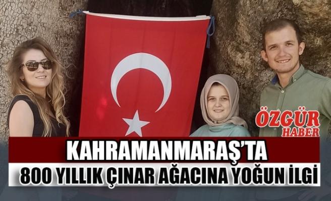 Kahramanmaraş'ta 800 Yıllık Çınar Ağacına Yoğun İlgi