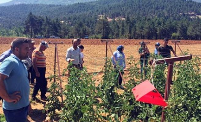 Sırık Domates Demonstrasyon Alanına Çiftçilerden Ziyaret