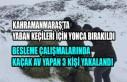 Kahramanmaraş'ta Yaban Keçileri İçin Yonca Bırakıldı
