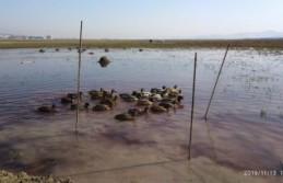 Kaçak Yabani Ördek Avcısı Yakalandı
