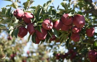 Göksun Elması Avrupa Ve Ortadoğu Pazarında