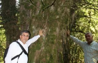 28 Asırlık Ağaç Korumaya Alınıyor