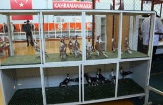 Kahramanmaraş'ta Güvercin Festivali Yapıldı