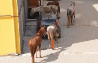 Firari Atlar Trafiği Birbirine Kattı
