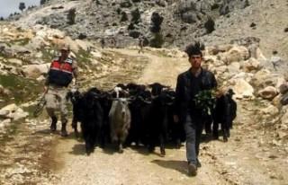 Kahramanmaraş'ta Ahırdan Kaçan Keçiler Güvenlik...