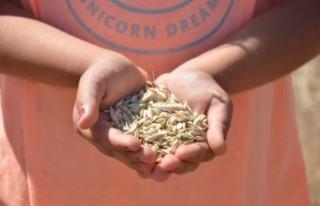 Buğdayın Atası Olarak Bilinen Siyez Buğdayında...