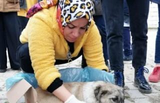 Öğrencilerin Bulduğu Yaralı Köpek Tedavi Altına...