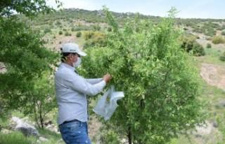 Orman Sahalarından 10 Ton Badem Hasat Edildi