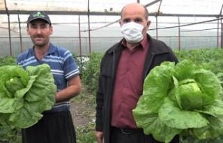 Marul ve Salatalık Çiftçinin Yüzünü Güldürdü