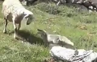 Koyun Sürüsüne Saldıran Tilkiyi Çoban Köpekleri...