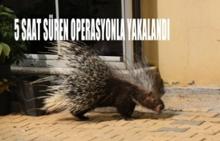 Mahallede Oklu Kirpi Paniği