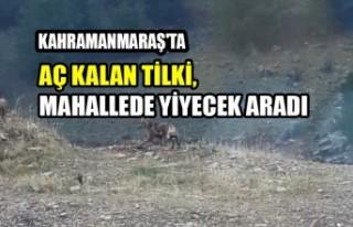 Kahramanmaraş'ta Aç Kalan Tilki, Mahallede...