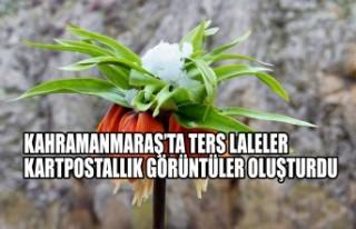 Kahramanmaraş'ta Ters Laleler Kartpostallık Görüntüler...