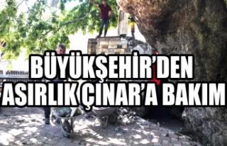 Büyükşehir'den Asırlık Çınar'a Bakım