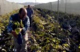 Andırın'ın En Büyük Kapama Ceviz Bahçesi Kuruluyor