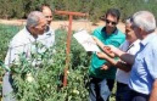 Sırık Domatesi Yetiştiriciliği Tarla Günü Düzenlendi