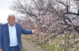 Elbistan'da Çiçek Açan Kayısı Ağaçları Çiftçiyi Umutlandırdı