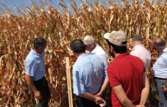 Bilinçli Tarımla Mısır Verimi Katlandı
