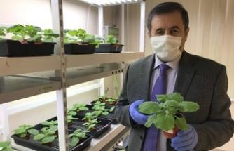 Yeşil Bitki İle Koronavirüs Aşısı Çalışması