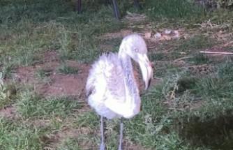 Göç Yolunu Şaşıran Yavru Flamingoya Belediyeden Şefkat Eli