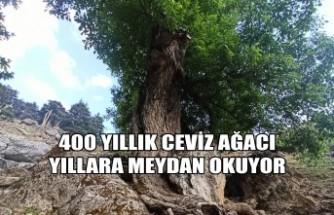 400 Yıllık Ceviz Ağacı Yıllara Meydan Okuyor
